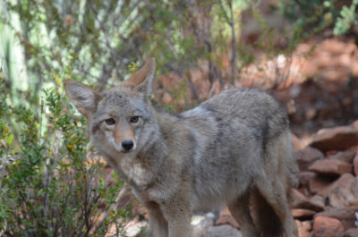 Coyote in Yavapai County, Arizona