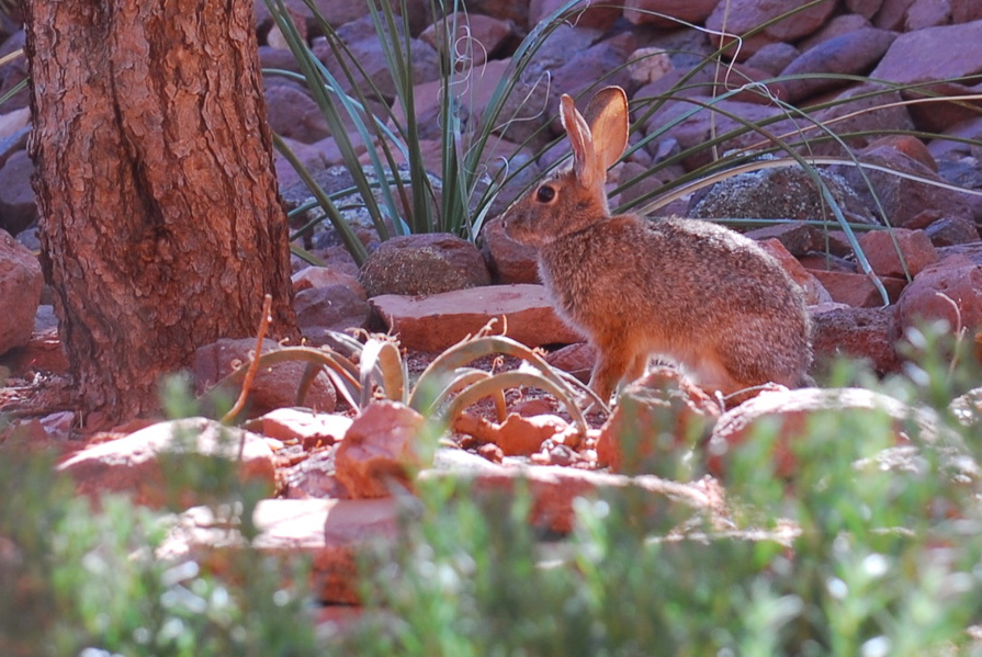 Rabbit in Sedona