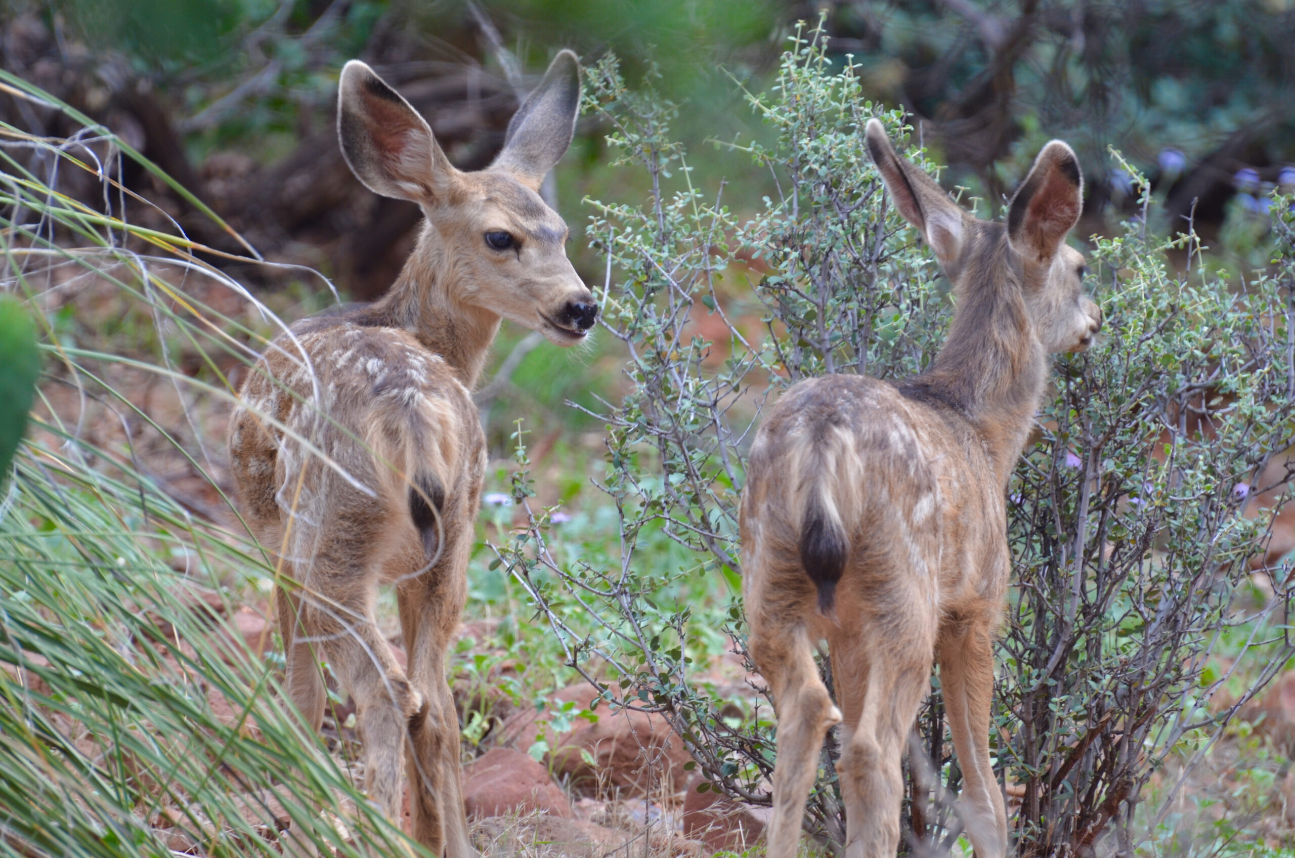 Two fawns at Red Rock State Park