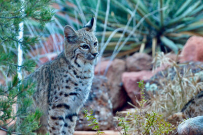 Bobcat in Sedona