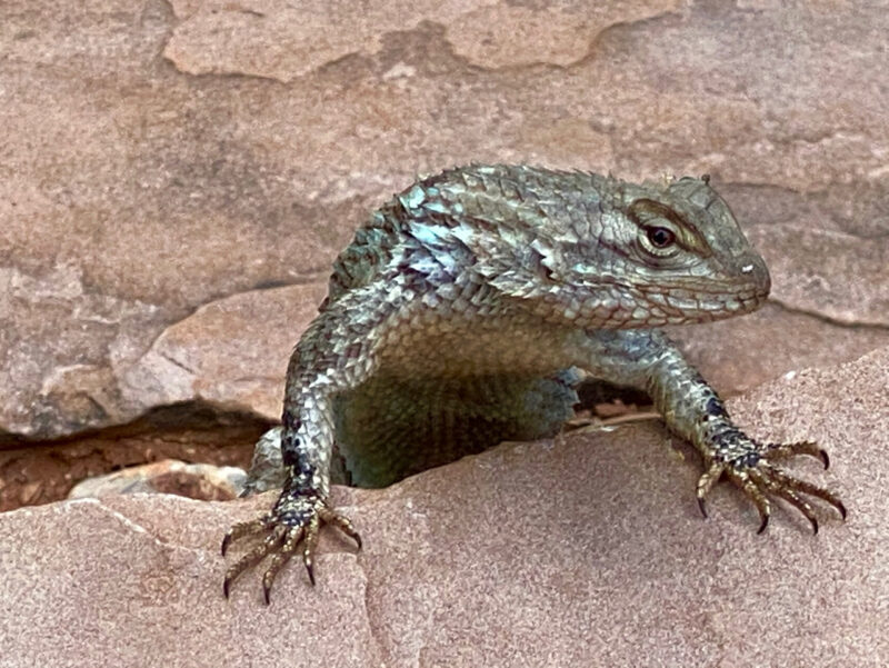 Lizard at Red Rock State Park