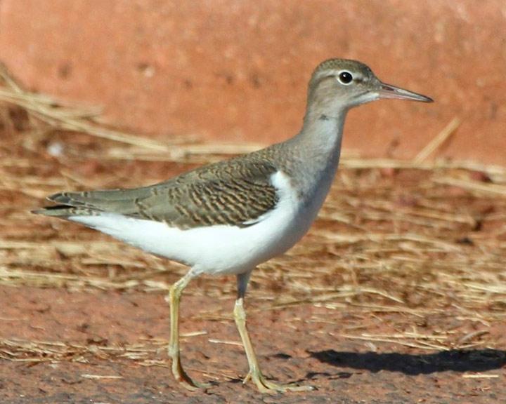 sedona-bird-watching-tour-16-sand-piper