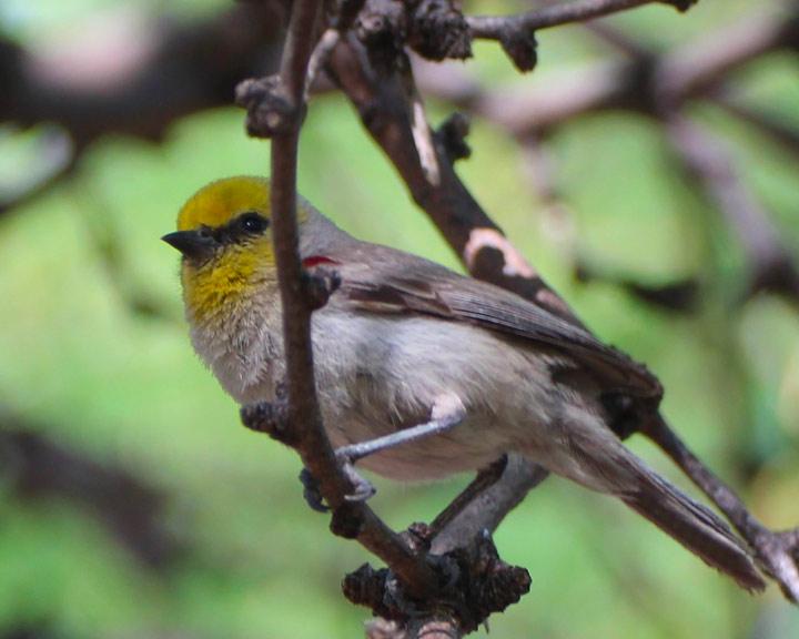 sedona-bird-watching-tour-18-verdin