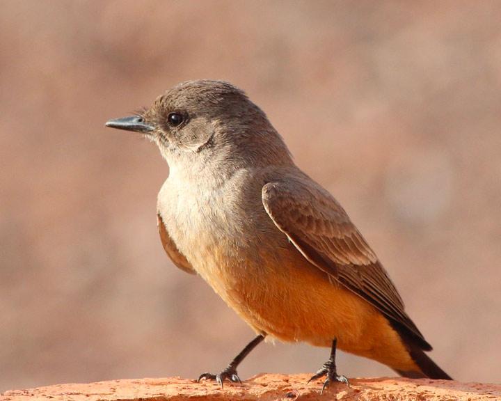 sedona-bird-watching-tour-19-says-phoebe