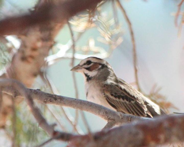 sedona-bird-watching-tour-20-lark-sparrow