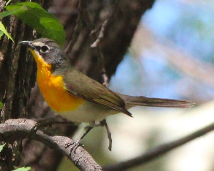 sedona-bird-watching-tour-21-yellow-breasted-chat